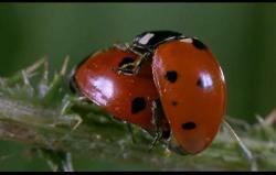 these are two mating ladybugs....oc course one would be a man-bug and the other a lady bug....hahahahah... watch the movie..............its great
