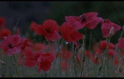 poppies in the morning dew