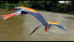 guacamayas, in the amazon river, brasil