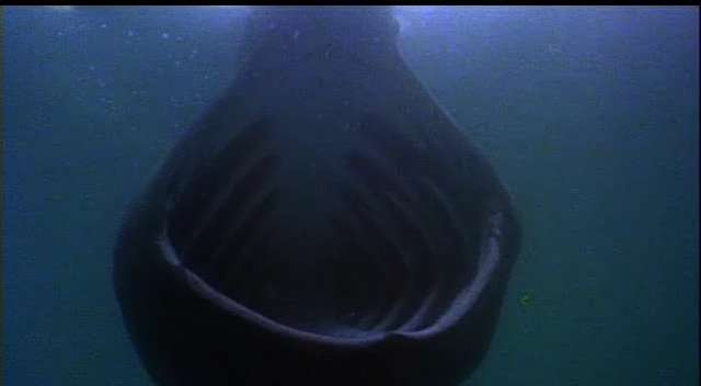 This appears to be a head-on photo of a basking shark, one of a few species larger than the great white but they feed more as large whales do, by keeping their mouths open and letting tiny things, like plankton, drift in.