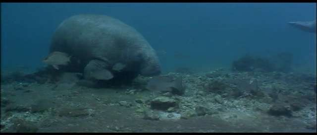 manatee (sea cow)